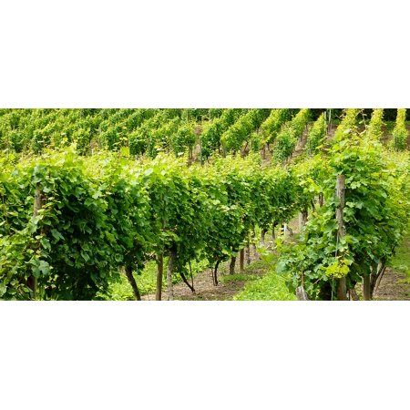 LAMINATED POSTER Fruit Gold Grapes Green Grapes Vineyard Poster Print 24 x (Green Gold Pictures)