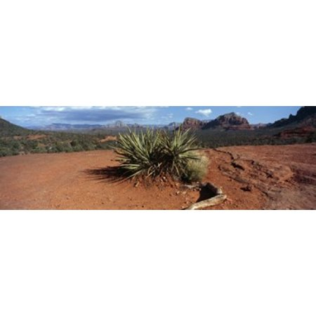 Yucca plant growing in a rocky field Sedona Coconino County Arizona USA Canvas Art - Panoramic Images (18 x