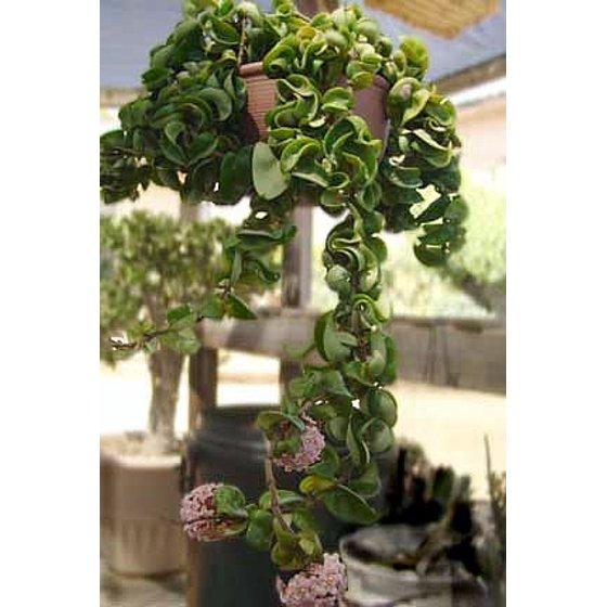 Extra Long Hindu Indian Rope Plant Hoya Exoticeasyblooming
