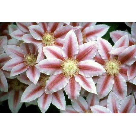 Bees Jubilee Clematis Vine - Pink & Red Blooms - 2.5
