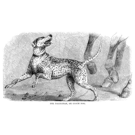 Dalmatian Nwood Engraving 19Th Century Poster Print by Granger Collection