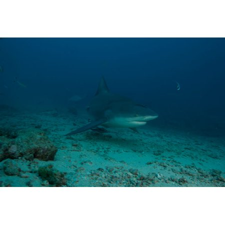 A large bull shark at The Bistro dive site in Fiji Poster Print by Terry MooreStocktrek (Best Diving In Fiji)
