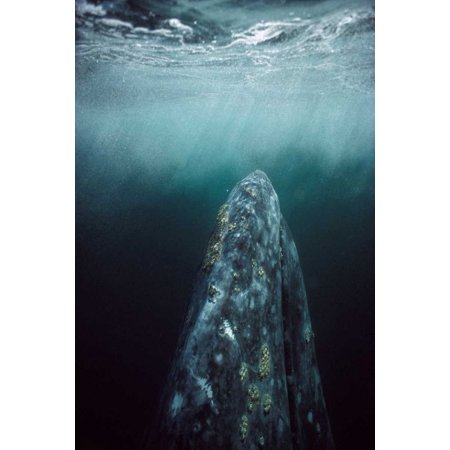 Gray Whale in breeding lagoon Magdalena Bay Baja California Mexico Poster Print by Tui De Roy