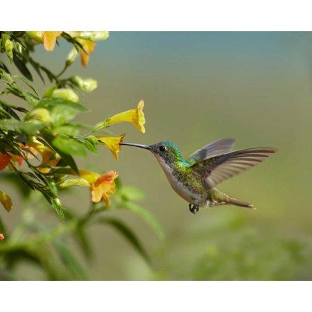 Andean Emerald Hummingbird Feeling On Yellow Flower Ecuador Poster Print By Tim Fitzharris Walmart Com Walmart Com
