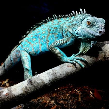 - Canvas Print Nature Lizard Iguana Reptile Tropical Blue Exotic Stretched Canvas 10 x 14