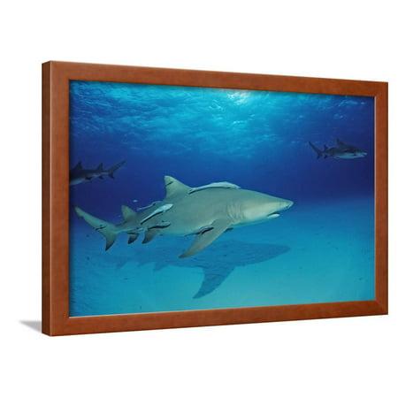 Lemon Shark, Negaprion Brevirostris, Bahamas, Grand Bahama Island, Atlantic Ocean Framed Print Wall Art By Reinhard Dirscherl