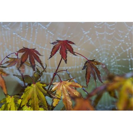 Japanese Maple leaves take on autumn colours with a spiderweb covered in water droplets in the background Astoria Oregon United States of America PosterPrint
