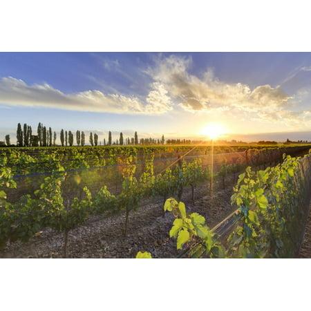 Argentina, Mendoza, Lujan De Cuyo, Malbec Grape Wineries Print Wall Art By Michele