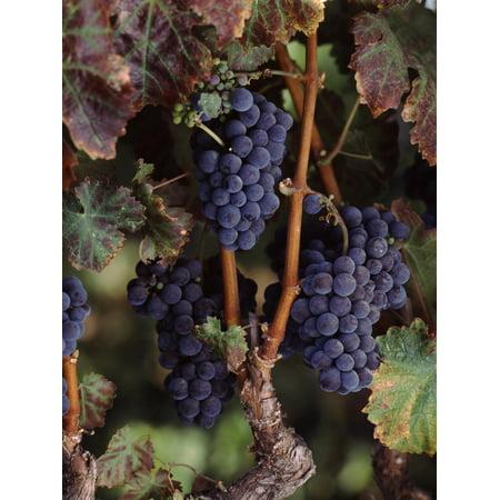Cabernet Sauvignon Grapes in Vineyard, Wine Country, California, USA Print Wall Art