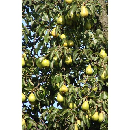 LAMINATED POSTER Plant Agriculture Tree Organic Fruits Pears Poster Print 24 x 36