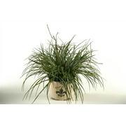 Wild Grass in Round Fleur De Lis Planter