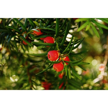 laminated poster taxus baccata yew european yew conifer food plant