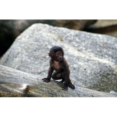 Peel-n-Stick Poster of Young Puppy Monkey Primate Zoo Ape Poster 24x16 Adhesive Sticker Poster Print (Puppy Monkey)