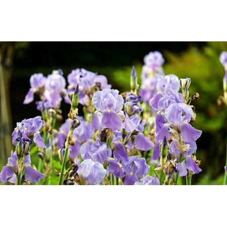 LAMINATED POSTER Iris Violet Blossom Bloom Bloom Bright Flowers Poster Print 24 x