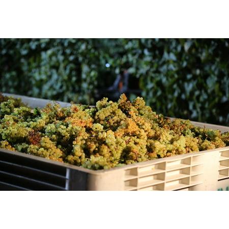 LAMINATED POSTER Harvest Napa Valley Chardonnay Drink White Wine Poster Print 24 x 36