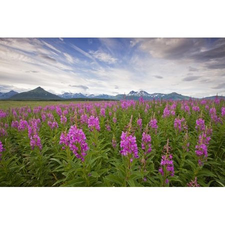 Fireweed in Meadow at Hallo Bay in Katmai National Park Print Wall Art By Paul Souders (Park Meadows Shops)