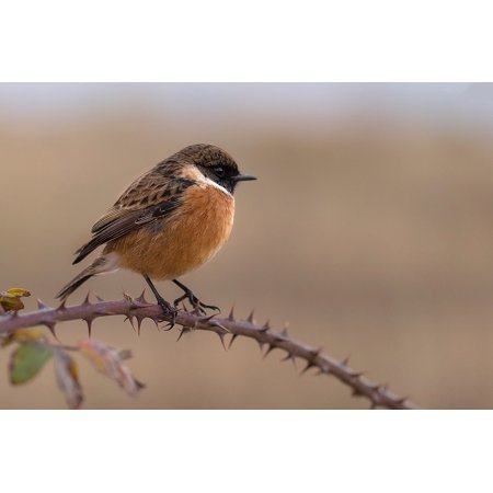 Canvas Print Stonechat Fauna Wings Ave Chick Chasco Bird Stretched Canvas 10 x 14