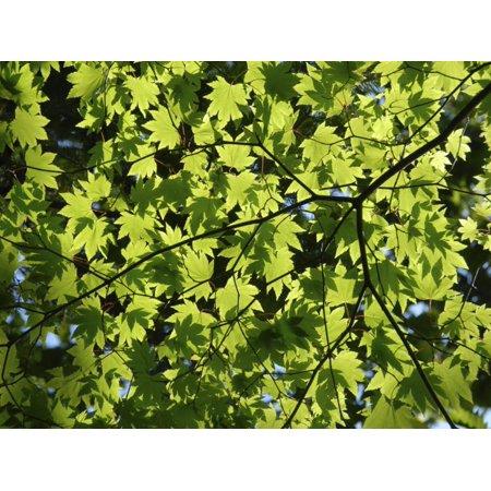 Green Lace Japanese Maple - Japanese Maple in Summer Colours, Kussharo Caldera Lake, Akan National Park, Hokkaido, Japan Print Wall Art By Tony Waltham
