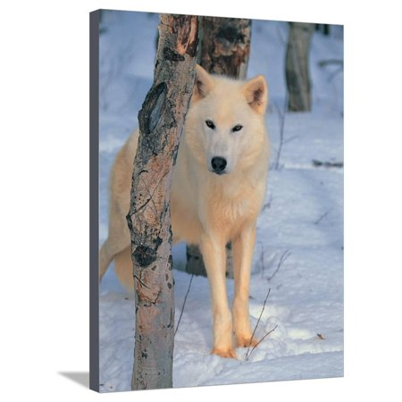 Gray Wolf, Canis Lupus Stretched Canvas Print Wall Art By Lynn M. Stone ()