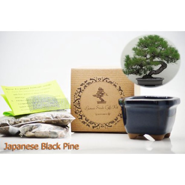 9greenbox Japanese Black Pine Bonsai Seed Kit Gift Complete Kit To Grow Japanese Black Pine Bonsai From Seed Walmart Com Walmart Com