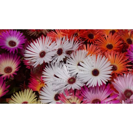 LAMINATED POSTER Garden Flowers Livingstone Daisy Hwasaham Poster Print 24 x
