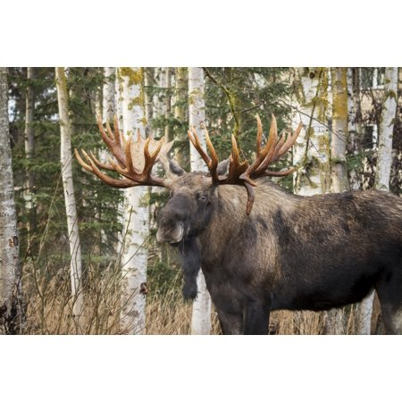 Bull moose in rutting season Anchorage Alaska United States of America Poster Print by Doug Lindstrand  Design Pics](Halloween Stores In Anchorage)