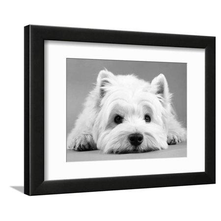 - West Highland White Terrier Cute Dog Photo Framed Print Wall Art By Steimer