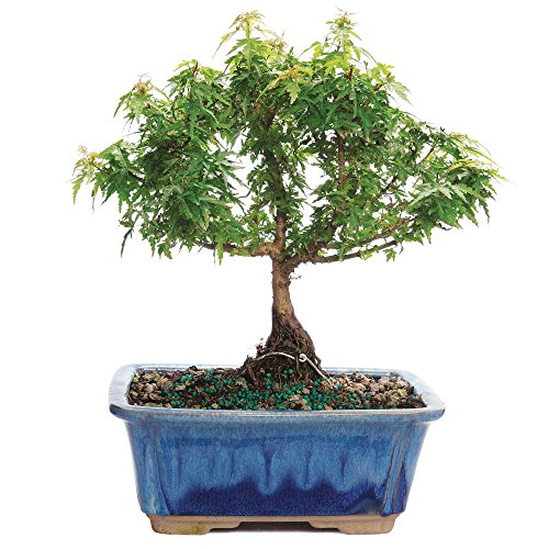 BRUSSEL'S BONSAI Kotohime Maple