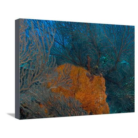 Deep Water Sea Fan and Encrusting Orange Sponge, Hol Chan Marine Preserve, Barrier Reef, Belize Stretched Canvas Print Wall Art By Stuart Westmoreland ()