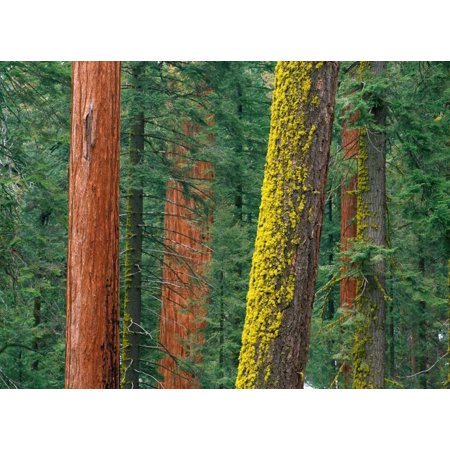 Giant Sequoia trees in Grant Grove Sequoia National Park California Poster Print by Tim Fitzharris