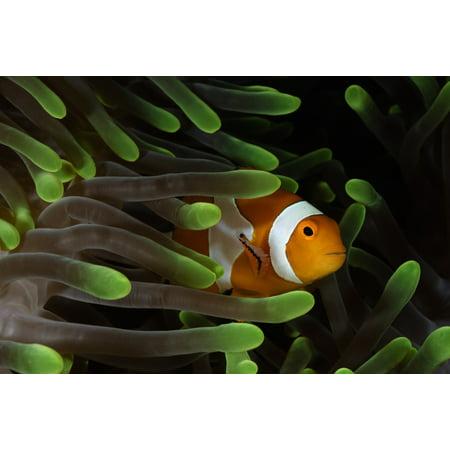 Clownfish in green anemone Indonesia Poster - Clownfish Anemone