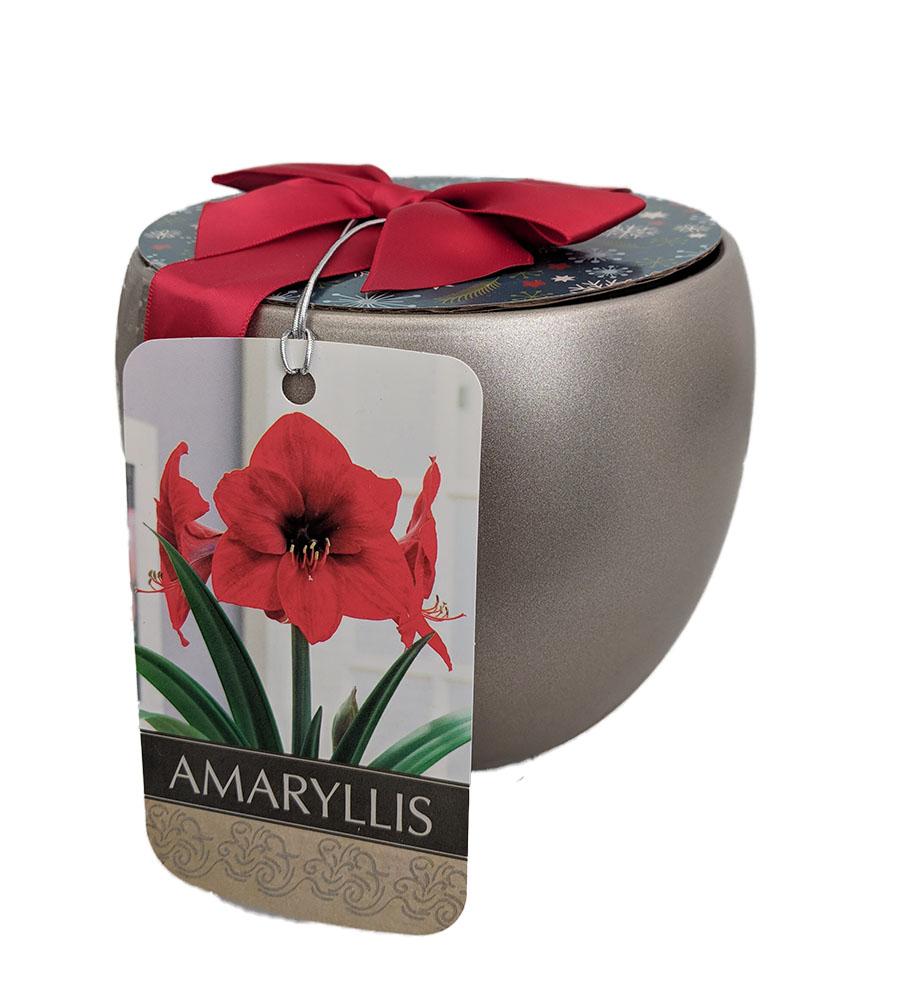 Premium Red Lion Amaryllis Kit
