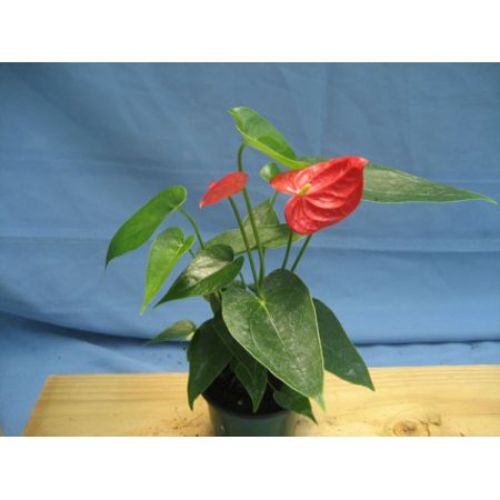 Image of Hawaii Live Plants 4in Anthurium
