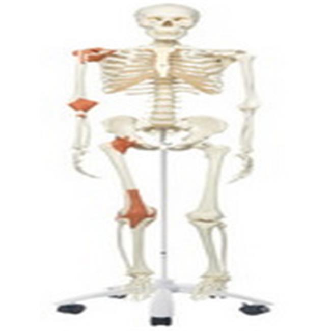 Fabrication Enterprises 12-4502 Anatomical Model Leo The Ligament Skeleton with Pelvic On Roller Stand - image 1 of 1