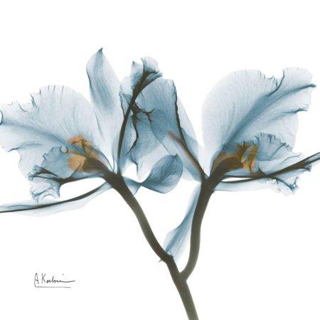 Orchid Blue Albert Koetsier X-Ray Flower Photo Print Wall Art By Albert Koetsier
