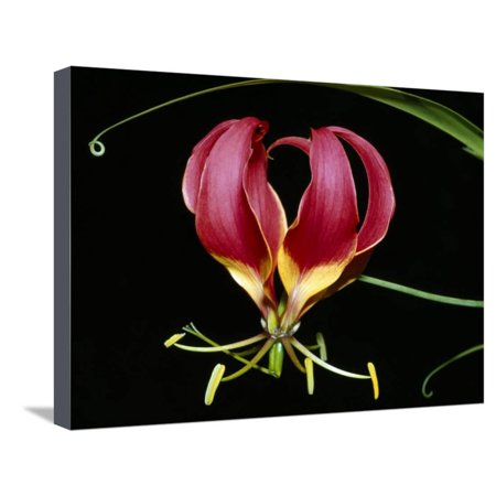 Kenya, Gloriosa Superba, a Spectacular Flower Earning the Popular Name of the Flame Lily Stretched Canvas Print Wall Art By Nigel Pavitt