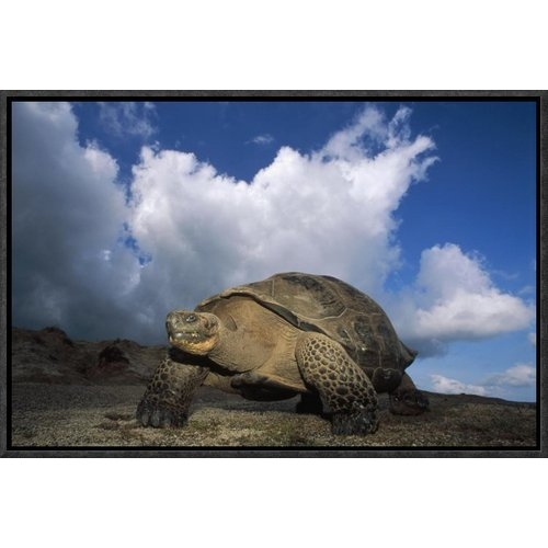 East Urban Home 'Galapagos Giant Tortoises on Caldera Rim, Alcedo Volcano, Galapagos Islands ' Framed Photographic Print on Canvas
