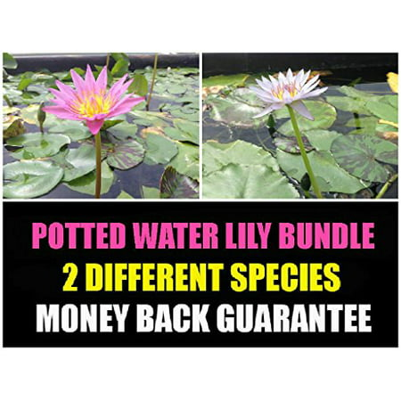 Tropical Water Lily Bundle - Water Garden Live Pond Plant (Water Garden Plants)