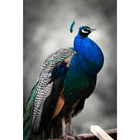 - Canvas Print Peacock Zoo Feather Animal Blue Bird Colorful Stretched Canvas 32 x 24