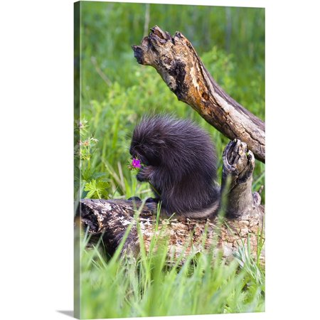 Great BIG Canvas | John Pitcher Premium Thick-Wrap Canvas entitled Porcupine Baby Eating Flower