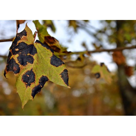 - Canvas Print Nature Maple Dry Tree Tar Stain Disease Maple Tree Stretched Canvas 10 x 14