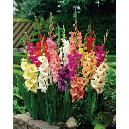 Van Zyverden Gladiolus, Large Flowering Rainbow Mixed, Set of 25 Bulbs