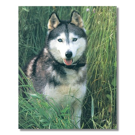 Husky Puppy Dog Sitting in Grass Close Up Photo Wall Picture 8x10 Art Print