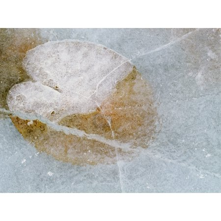 Finger Lakes Ice Wine - Water Lily Leaf In Ice Boggy Lake Alberta Canvas Art - Darwin Wiggett  Design Pics (16 x 12)