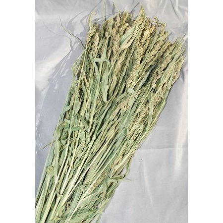 - Dried Mini Millet Length 18-20in. Light Green -- Single Bunch