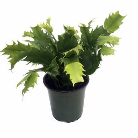 Cactus Garden Plant (Red Christmas Cactus Plant - Zygocactus - 4