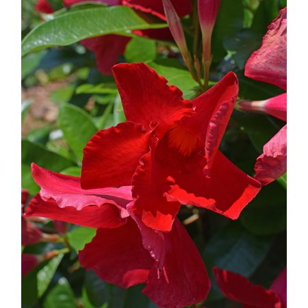 Canvas Print Tropical Blossom Red Mandevilla Vine Flower Bloom Stretched Canvas 10 x 14