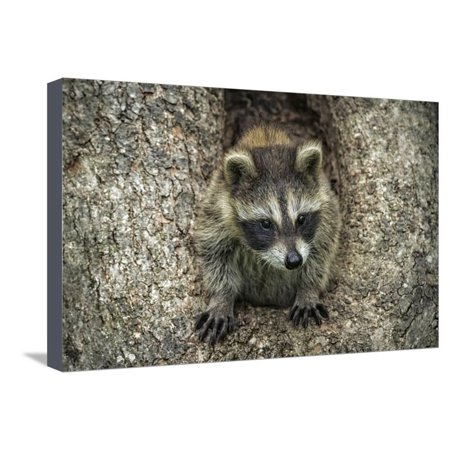 Minnesota, Sandstone. Raccoon in a Hollow Tree Stretched Canvas Print Wall Art By Rona Schwarz ()