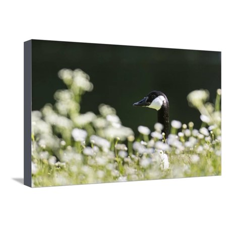 Canada Goose. Europe, Germany, Bavaria Stretched Canvas Print Wall Art By Martin Zwick