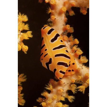 Tiger cowrie on yellow sea fan Bali Indonesia Canvas Art - Mathieu MeurStocktrek Images (23 x 35)